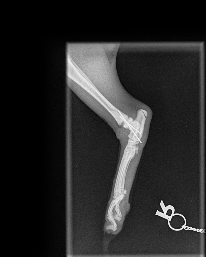 castle-vets-pet-orthopaedic-services-xray-tibia-after3